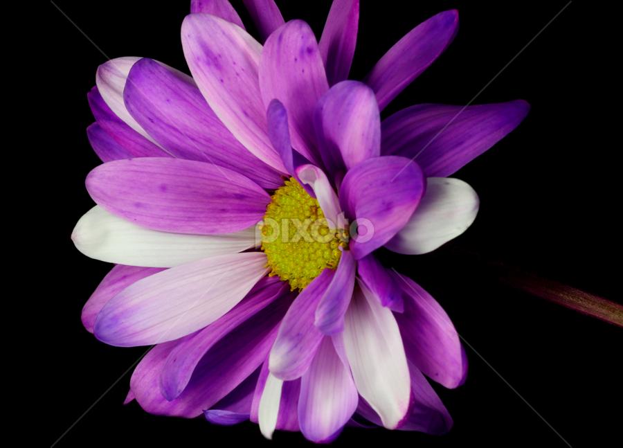 by Dipali S - Flowers Single Flower ( nature, purple, chrysanthemum, flower )