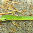 Northern Rough Green Snake