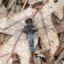 Blue Corporal dragonfly (mature male)