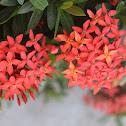 Scarlet Jungleflame