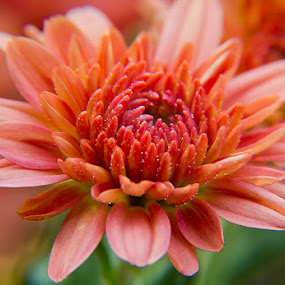 Mums by Arthie Beighle - Flowers Single Flower