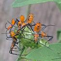 Leaf-footed Bug nymphs