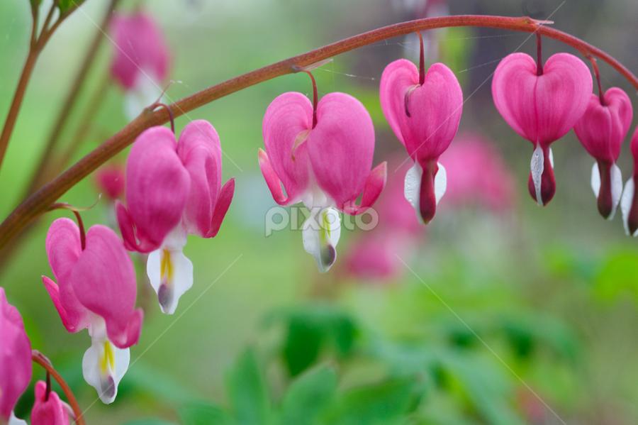 Spring Blooms by Fran McMullen - Flowers Flowers in the Wild ( plant, wild, pink, bleeding heart, garden, flower )