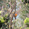 Cherrie´s Tanager