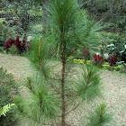 Benguet Pine