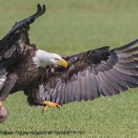 by Rich Eginton - Animals Birds ( eagle, florida, take off, wing feather, soar, possum,  )