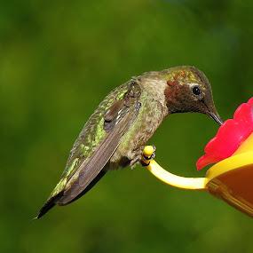Yummy by Ed Hanson - Animals Birds ( bird, red, nature, green, yellow )