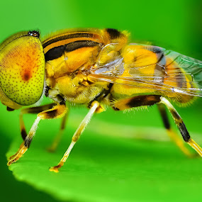 NATIVE DRONE FLY ( ERISTANUS PUNCTULATUS by Ahmad Zaini - Animals Insects & Spiders ( macro,  )