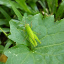nymph grasshopper