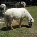Pygmy Horse