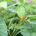 Samurai spider,Garden spider
