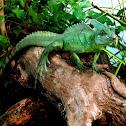 Green Jesus Christ Lizard
