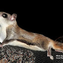Northern Flying Squirrels