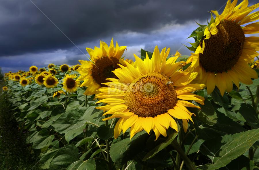 Sun Flower and Storm by Daliana Pacuraru - Flowers Flower Gardens ( sun flowers, storm, yellow, yellow flower, hope, field flower, sun flower )