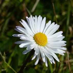 A daisy in the wild... by Francesco Altamura - Flowers Single Flower ( white flower, park, green, daisy, yellow, garden, flower,  )