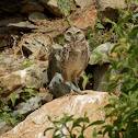 Burrowing Owl (Shoco)