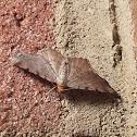 Red-headed Inchworm Moth