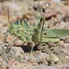 Great Crested Grasshopper
