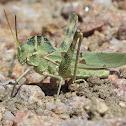 Great Crested Grasshopper