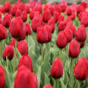 Tulip Patch by Becky McGuire - Flowers Flower Gardens ( enthusiasm, passionate, moods, becky mcguire, green, spring, improving mood, love, minnesota, spring colorful flowers, red, tvlgoddess, outdoors, 50 mm, passion, the mood factory, springtime, inspirational,  )