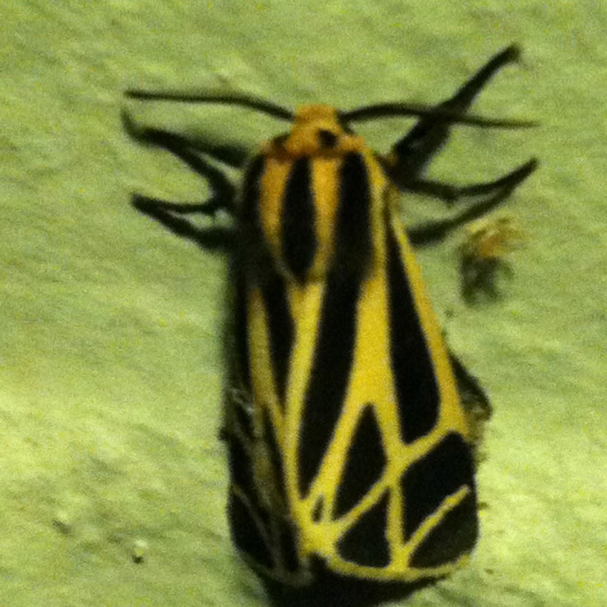 Harnessed Moth