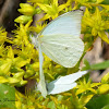 Common Green-eyed White or Mountain White