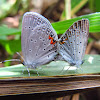 Mating Eastern Tailed-Blue
