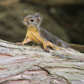 Squirrel by T.M Mathis - Animals Other Mammals ( nature, baby, cute, mammal, squirrel )