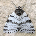 White Underwing Moth