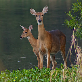 Mother and Child by Dan Ferrin - Animals Other Mammals ( nature, wildlife, doe, white tail deer, fawn )