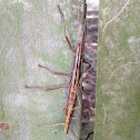 Southern Two-striped Walkingstick (mating pair)