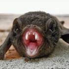 Gould's Wattled Bat