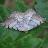 Macaria adonis moth