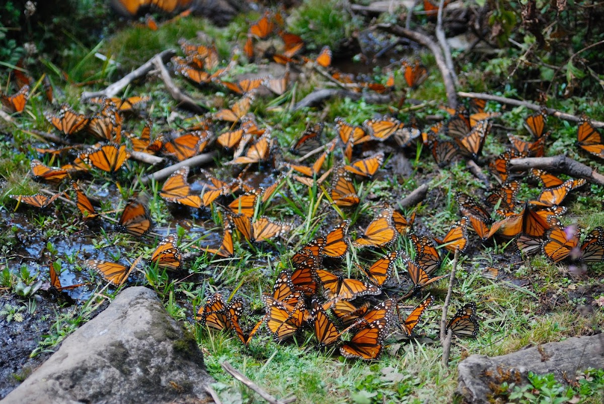 Winter Reserve of the Monarch Butterfly