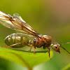 Green Tree Ant ( Queen )