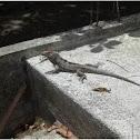 Unknown Iguana