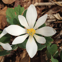 Spring Flowers of the Midwest United States