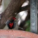 Painted Firetail Finch