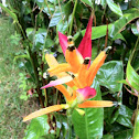 Heliconia Papagaio