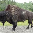 Wood Bison (Mountain Bison)