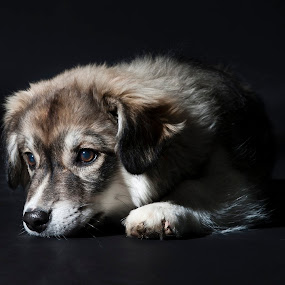 Soulful Puppy by Karen Clemente - Animals - Dogs Puppies ( cute puppy, adorable, puppy, german shepard, portrait,  )