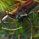 Giant water bug, Electric Light Bugs, Toe Biters, Fish Killers