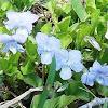 Violet (Wildflower)