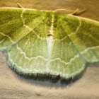 Wavy-lined Moth