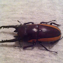 Bison Stag Beetle