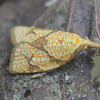 Reticulated Fruitworm Moth