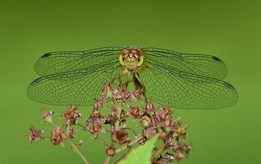 Dragonfly by Liz Crono - Animals Insects & Spiders ( red, wings, dragonfly, insects, flower )