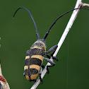 Threebanded longhorn beetle