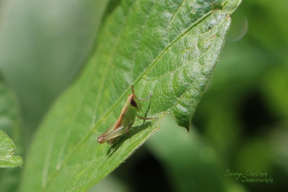 Grass hopper nymph
