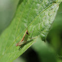 Grass hopper nymph